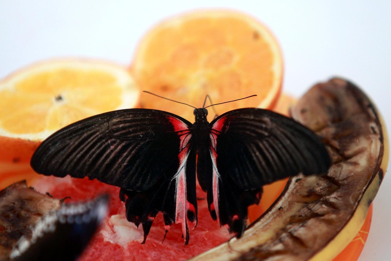 这是5月13日在拉脱维亚的特尔维特蝴蝶园拍摄的一只红斑美凤蝶。 特尔维特的蝴蝶园养殖有来自亚洲、南美洲和非洲的各种珍稀蝴蝶。 新华社/欧新