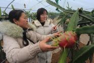 河南淇滨农妇返乡创业 种火龙果带动扶贫
