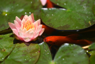 金鱼戏睡莲