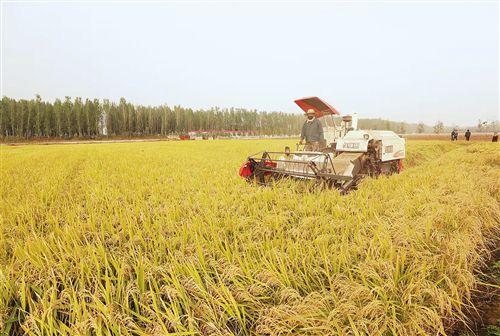 虾稻共养效益好 玉米两卖收入高——山东平阴县家庭农场见闻 玉米稻