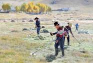 西藏拉薩市南巴村村民收割草料