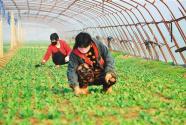 """""""京津菜园""""果蔬香——有效扩大""""菜篮子"""",农产品供应有保障"""
